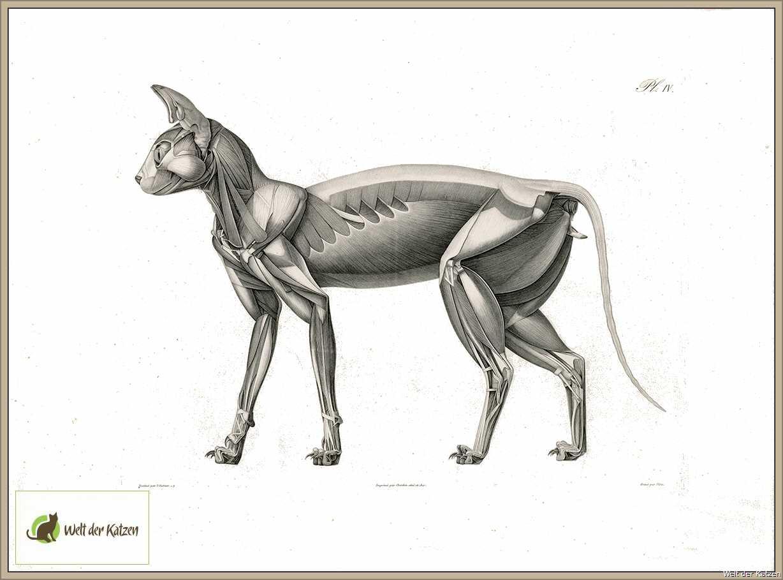 Welt der Katzen - Biologie | Anatomie | Muskulatur