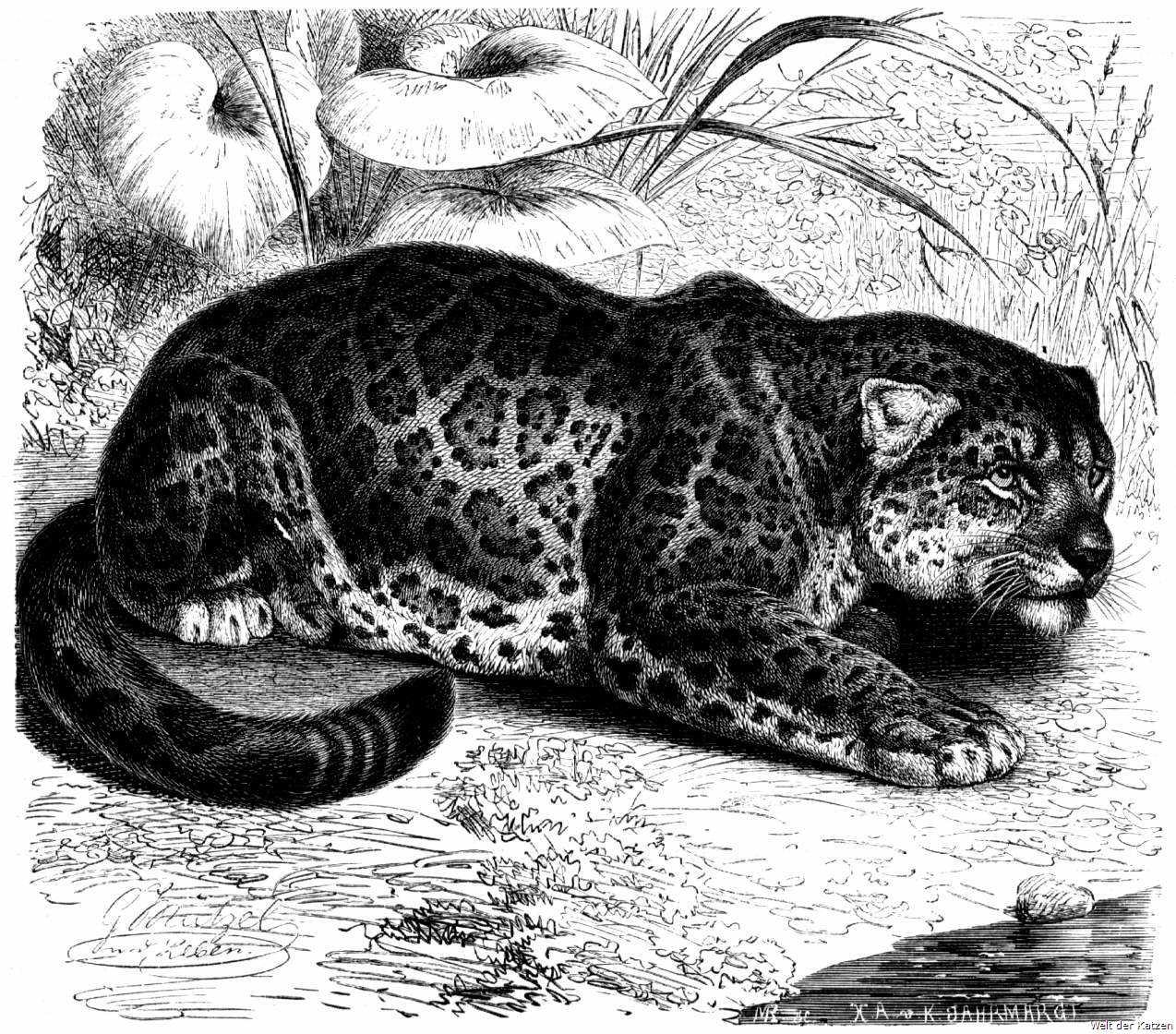 Welt der Katzen - 5. Sippe: Pardel (Leopardus)
