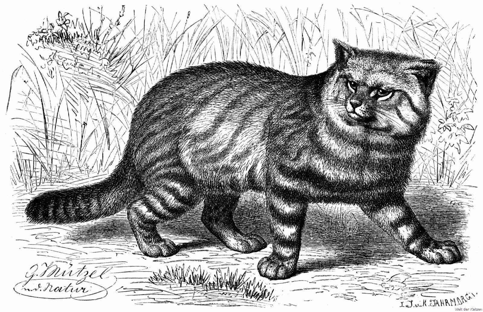 Welt der Katzen - 7. Sippe: Katzen (Felis)