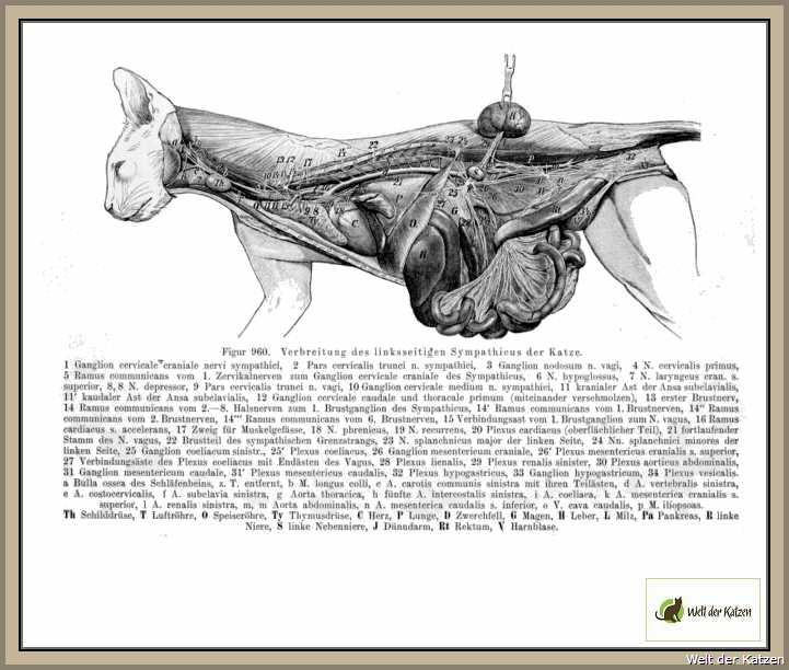 Welt der Katzen - Biologie | Anatomie | Innere Organe