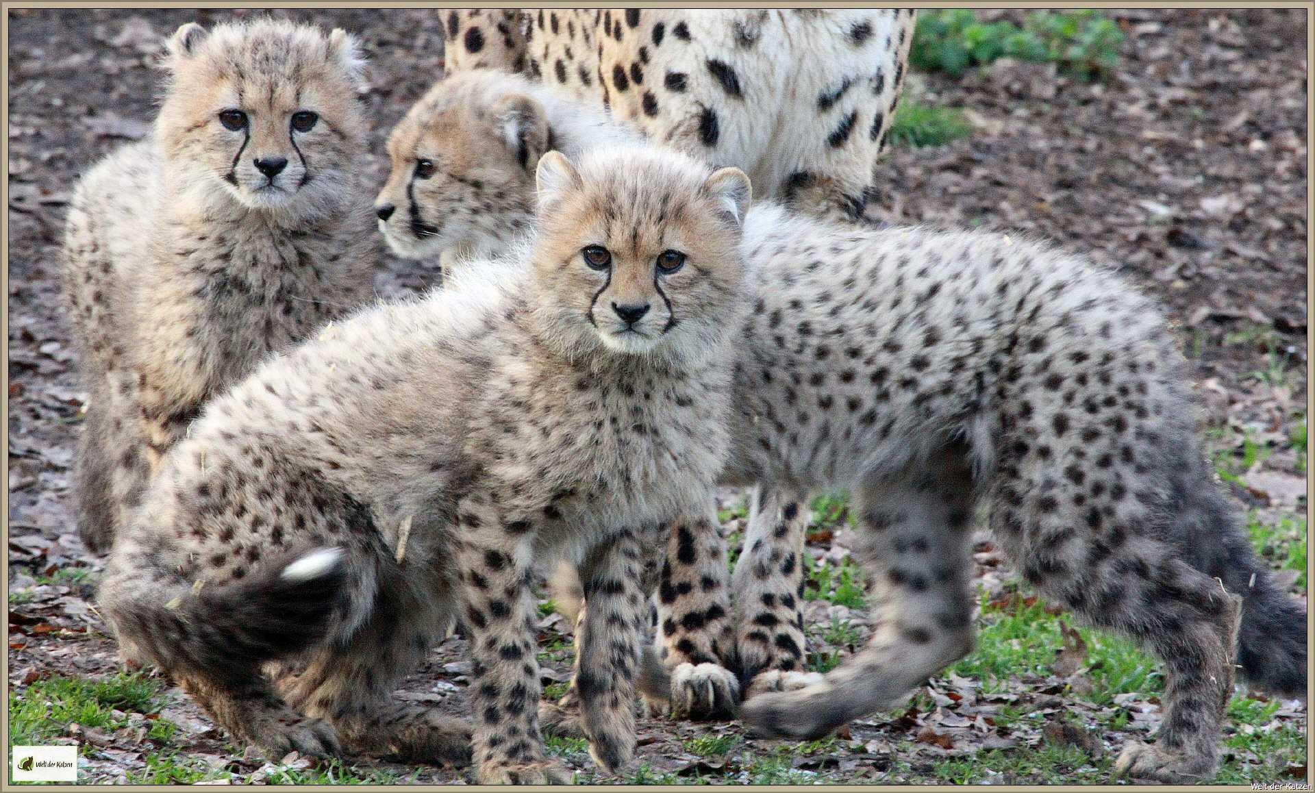 Unterschied leopard gepard