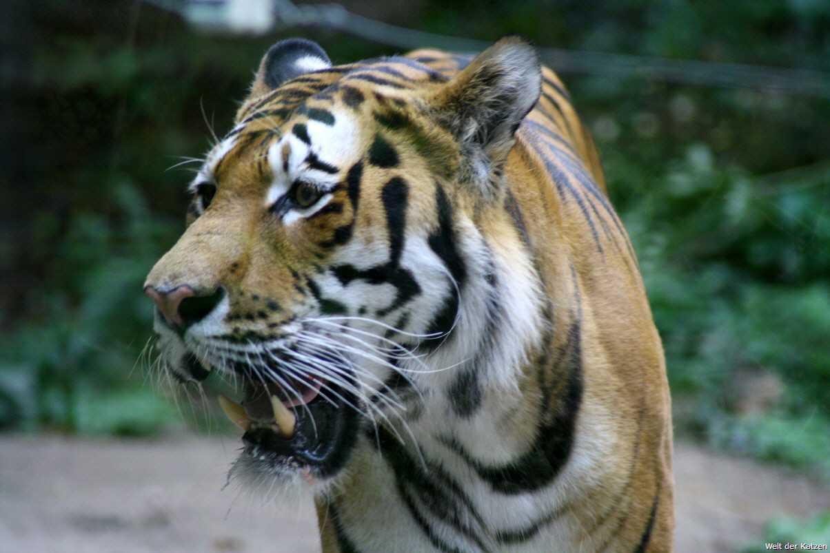 Der Ozelot Leopardus pardalis ist ein schlankes Raubtier und doppelt so groß wie eine durchschnittliche Hauskatze Das Tier ist nicht wasserscheu und kann gut schwimmen Der Ozelot kann sich auch an menschliche Lebensräume anpassen und