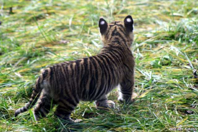 Tigerbaby im Zoo Wuppertal