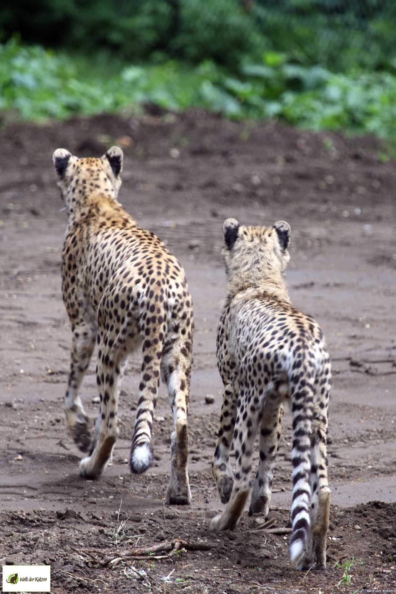 wie jagen katzen
