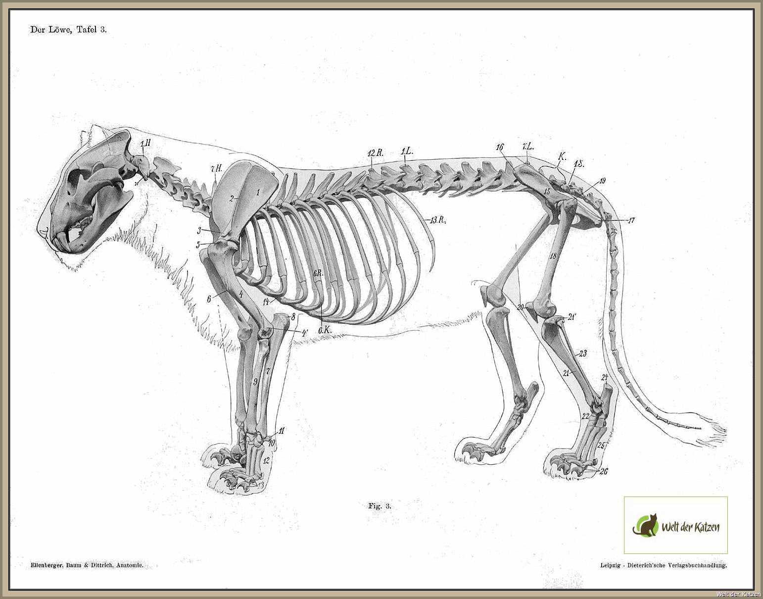 Berühmt Katze Knochen Anatomie Galerie - Menschliche Anatomie Bilder ...