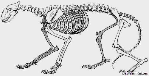 Welt der Katzen - Biologie | Anatomie | Skelett der Katze